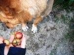 イヌビワに顔をそむける犬