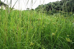 カヤツリ草