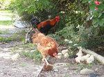 キャンプ場の鶏