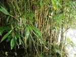 ダイミョウ竹