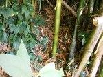 ダイミョウ竹の子