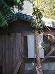 パパイアと鶏小屋