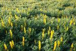 ルーピンとレンゲ草1