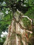 太い幹の紀元杉