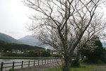 宮之浦の桜1