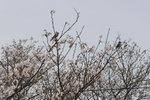 宮之浦の桜3