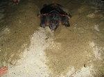 栗生ウミガメ