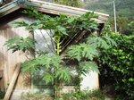 鶏小屋の前のパパイヤ