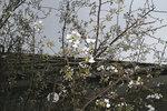 麹町学園の桜
