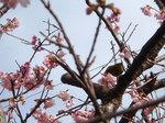 桜の木のメジロ