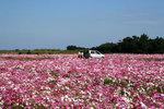 麦生のコスモス畑