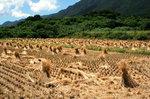 小島の稲刈り風景