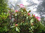 山の石楠花