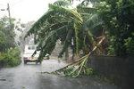 台風13号で倒れた木