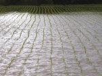 麦生の田んぼ