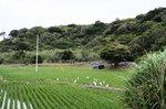 椨川田んぼにアマサギ